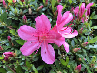 ピンクのつつじのクローズアップの写真・画像素材[3266028]