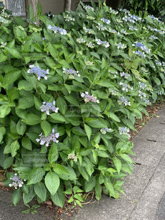 庭の紫陽花の写真・画像素材[3294266]