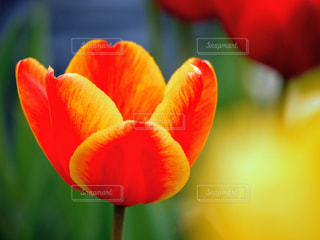 赤と黄色のチューリップの写真・画像素材[3268216]