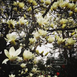 白木蓮と椿の写真・画像素材[3280989]