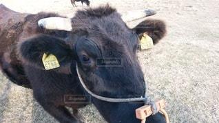 牛の写真・画像素材[3260716]