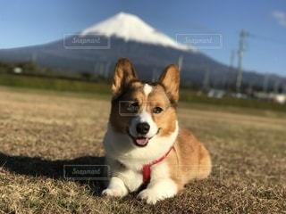 カメラを見ている茶色と白の犬と富士山の写真・画像素材[3266512]