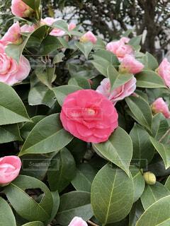 赤い花の写真・画像素材[4334895]