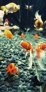 金魚の戯れる様子の写真・画像素材[3444847]