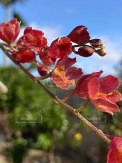 赤い花の枝と青い空の写真・画像素材[3307963]