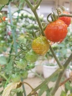 雨上がりのトマトの写真・画像素材[3273577]