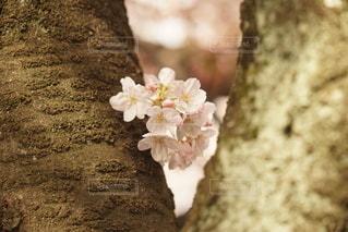 桜花の写真・画像素材[3273473]
