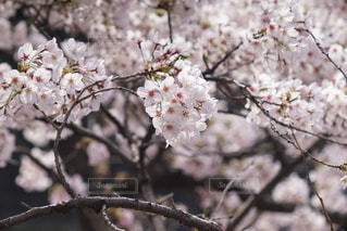 春の桜の写真・画像素材[3273475]