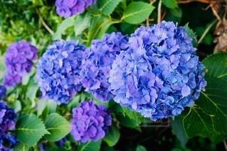 紫陽花の写真・画像素材[3332914]