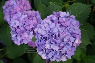 紫陽花の写真・画像素材[3332908]