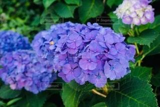 紫陽花の写真・画像素材[3332913]