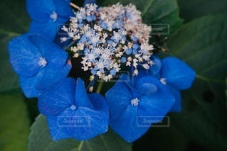 紫陽花の蕾と花の写真・画像素材[3332912]