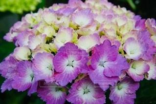 紫陽花の花の写真・画像素材[3332915]