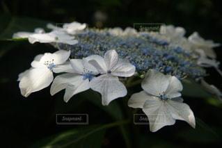 梅雨の紫陽花の写真・画像素材[3333443]