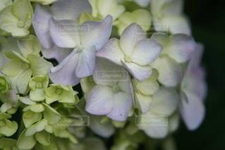紫陽花の写真・画像素材[3333445]