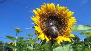 向日葵とカブトムシの写真・画像素材[3273590]
