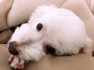 ベッドに横たわる白の犬の写真・画像素材[3273598]