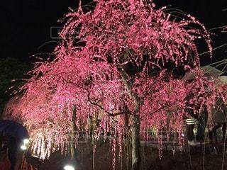木の上のピンクの花の写真・画像素材[3273597]