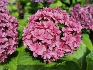 背景にハルダ・クラガー・ライラック・ガーデンのある花のクローズアップの写真・画像素材[3342047]