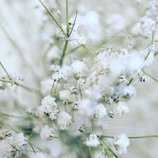 かすみ草のクローズアップの写真・画像素材[3279922]