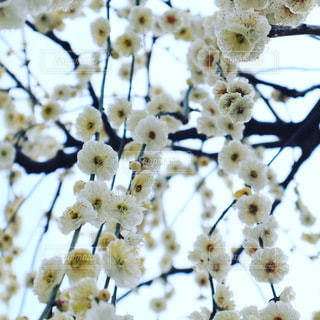 白い枝垂れ梅の写真・画像素材[3290218]