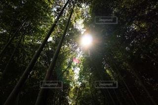 見上げた竹林から光が差すの写真・画像素材[3622539]