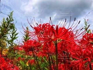 花道端に咲いた彼岸花の写真・画像素材[3748656]