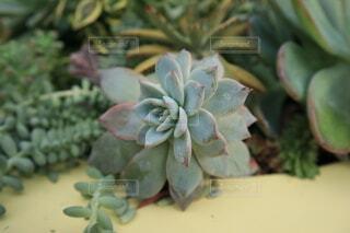 多肉植物のクローズアップの写真・画像素材[3837543]