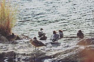 河原岩の上で羽を休めているマガモの写真・画像素材[3970022]