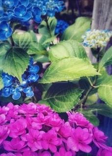 鮮やかに咲く紫陽花♡の写真・画像素材[3341245]