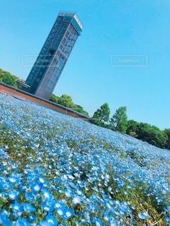 青い花畑の写真・画像素材[3285532]