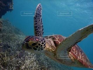 ウミガメの写真・画像素材[3376233]