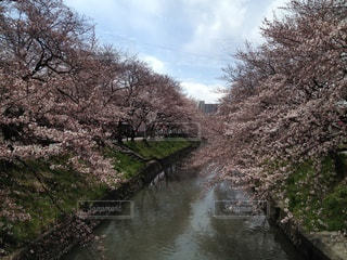 川と桜の写真・画像素材[3290840]