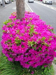 道端に咲く満開の綺麗なつつじの写真・画像素材[3303936]