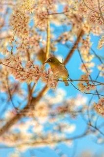 桜に興味をもつ鳥の写真・画像素材[3285338]