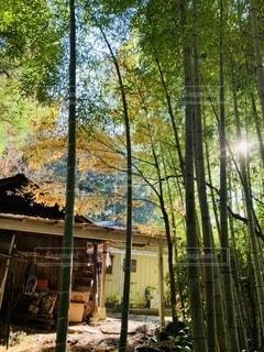 竹やぶに漏れる陽の光の写真・画像素材[3321573]