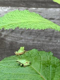 梅雨のカエルたちの写真・画像素材[3326185]