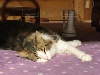 横たわる猫の写真・画像素材[3358070]