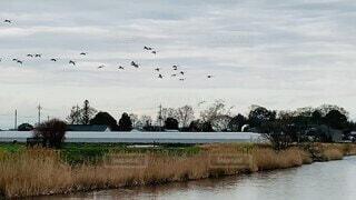 初めて見れた白鳥の群れの着水シーンの写真・画像素材[4874049]