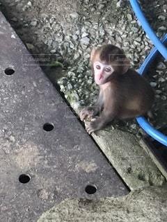 カメラを見ているかわいい小猿の写真・画像素材[3288644]