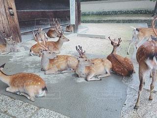 戯れる鹿の写真・画像素材[3292331]