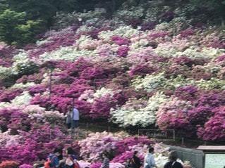 紫色の花のグループの写真・画像素材[3295585]