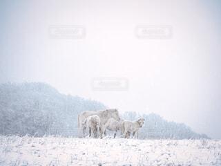 冬の道産子の写真・画像素材[4020180]