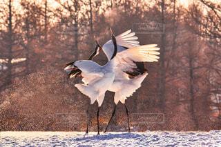 冬の鶴の写真・画像素材[4102454]