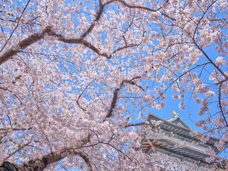 松前城と桜の写真・画像素材[4369847]