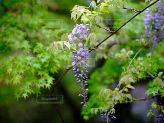 藤の花の写真・画像素材[4427454]