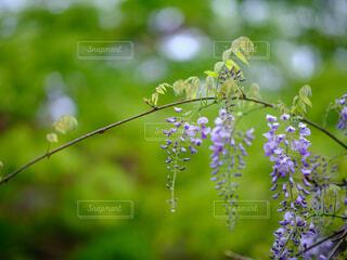 藤の花の写真・画像素材[4427448]