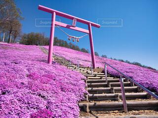 東藻琴芝桜公園の写真・画像素材[4430230]