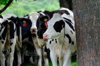 牧場の牛の写真・画像素材[4630299]