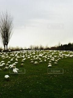 草原いっぱいのカモメの群れの写真・画像素材[3312357]